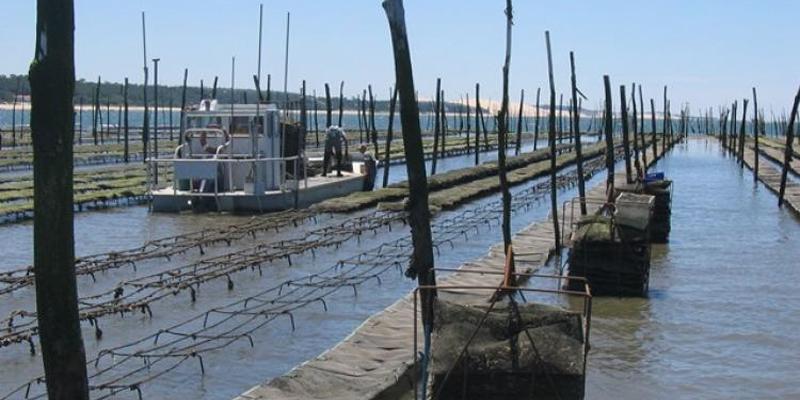 60 % des ostréiculteurs travailleraient avec du naissain de captage naturel et du naissain d'écloserie. (Photo : Loïc Fabrègues)
